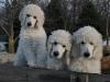 Delilah\'s Pups -- 9 Weeks